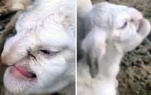 Ovelha nasce com rosto humano e choca moradores na Rússia